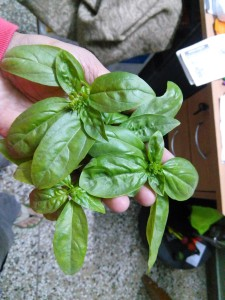 Sweet basil grown in home garden