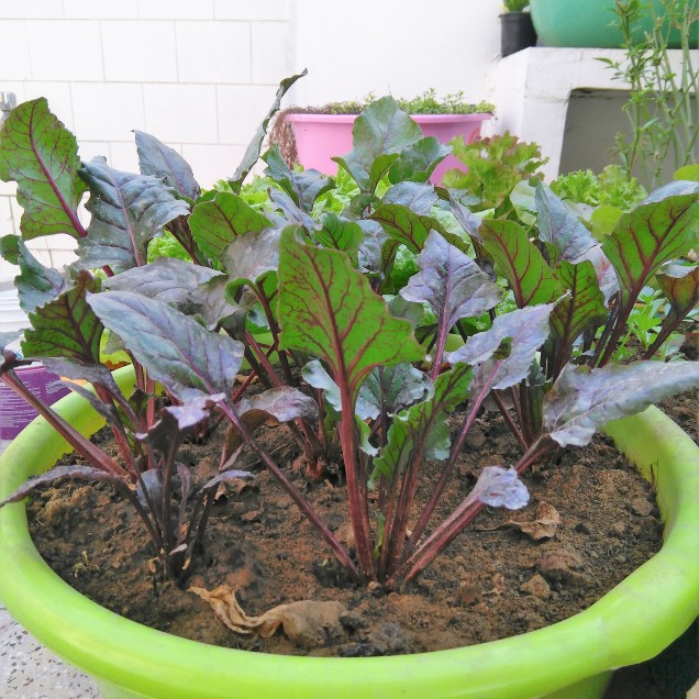 Beets in a tub