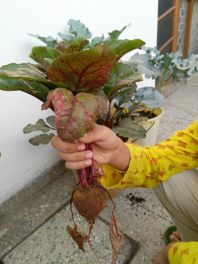 Beetroots harvested