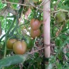 Fruiting tomatoes
