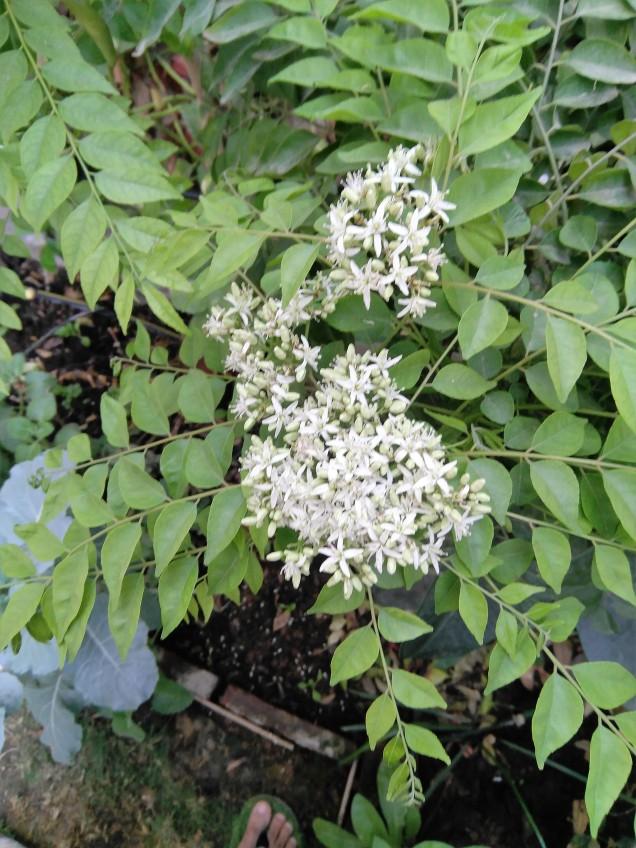 Curry leaves flowering