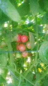 Cherry tomatoes in kitchen garden