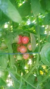 Cherry tomatoes in kitchen garden