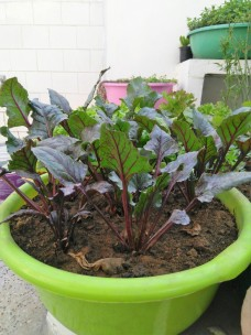 Beetroot in tubs at home