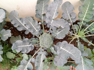 Fresh Broccoli In My Garden