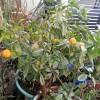 Tangerine in our garden